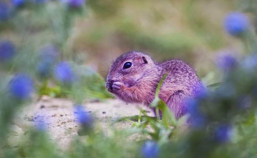 Écureuil mauve ou éléphantrose?