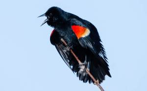 Red-winged Blackbird 1-2