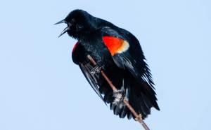 Red-winged Blackbird 1-2